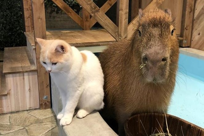 日本大阪迷你動物園咖啡店「Animeal」 有可愛水豚/刺蝟/天竺鼠/熊狸/貓頭鷹/貓狗等12種動物