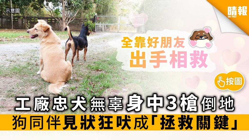工廠忠犬無辜身中3槍倒地 狗同伴見狀狂吠 成「獲救關鍵」