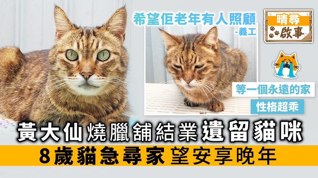 黃大仙燒臘舖結業 遺留貓咪 8歲貓急尋家 望安享晚年