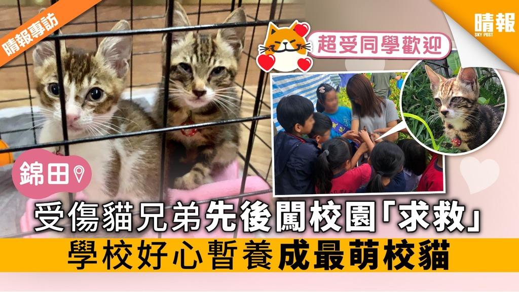 受傷貓兄弟迷路 先後闖校園「求救」 錦田學校好心暫養 成最萌校貓