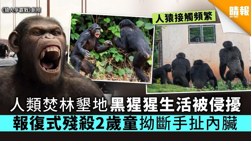 人類焚林墾地黑猩猩生活被侵擾 報復式殘殺2歲童拗斷手扯內臟