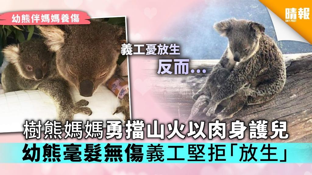 【母愛偉大】樹熊媽媽勇擋山火以肉身護兒 幼熊毫髮無傷義工堅拒「放生」