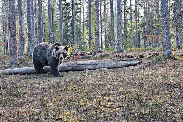 芬蘭庫赫莫 住小木屋觀熊出沒