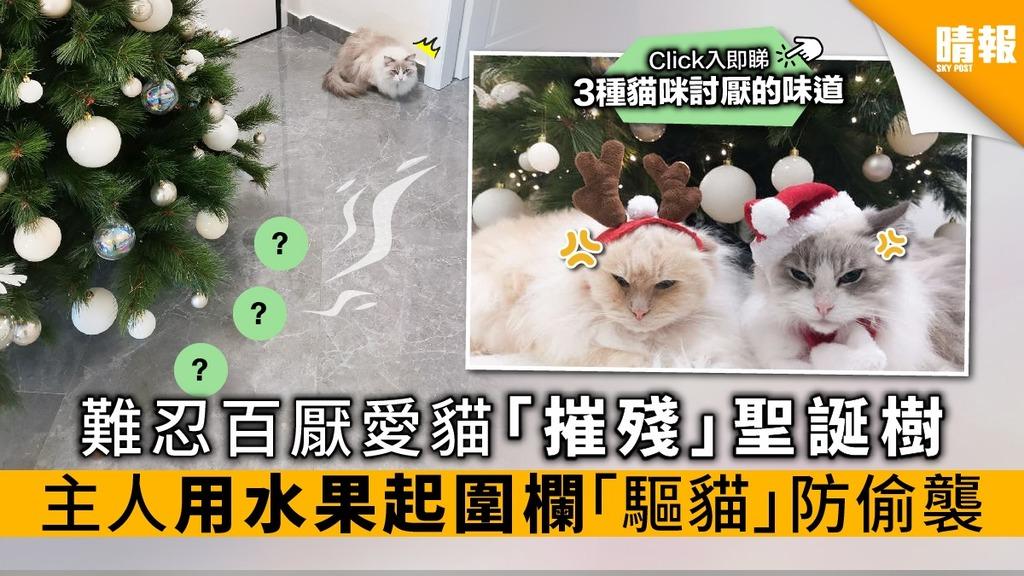 難忍百厭愛貓「摧殘」聖誕樹 主人用水果起圍欄「驅貓」防偷襲【附貓咪討厭的氣味】