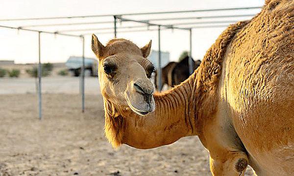 女子騎駱駝跌斷手 告TripAdvisor疏忽