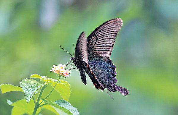 港7個月錄得183種蝴蝶 沙頭角最多