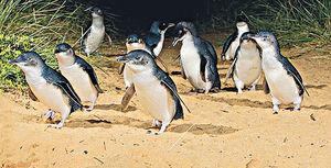 Bicheno#企鵝#全球最小