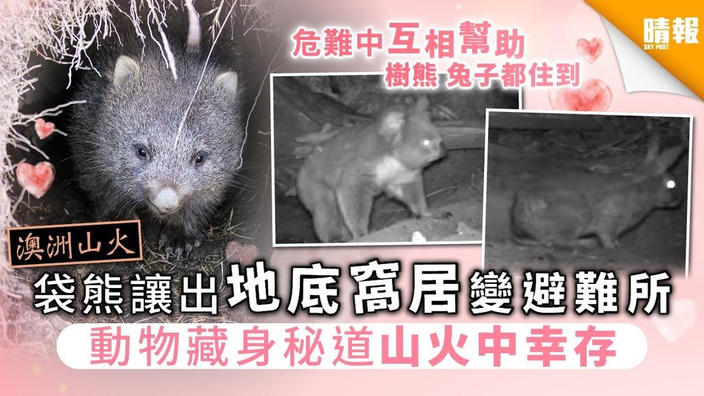 【澳洲山火】袋熊「讓出」地底窩居變避難所 動物藏身秘道山火中幸存