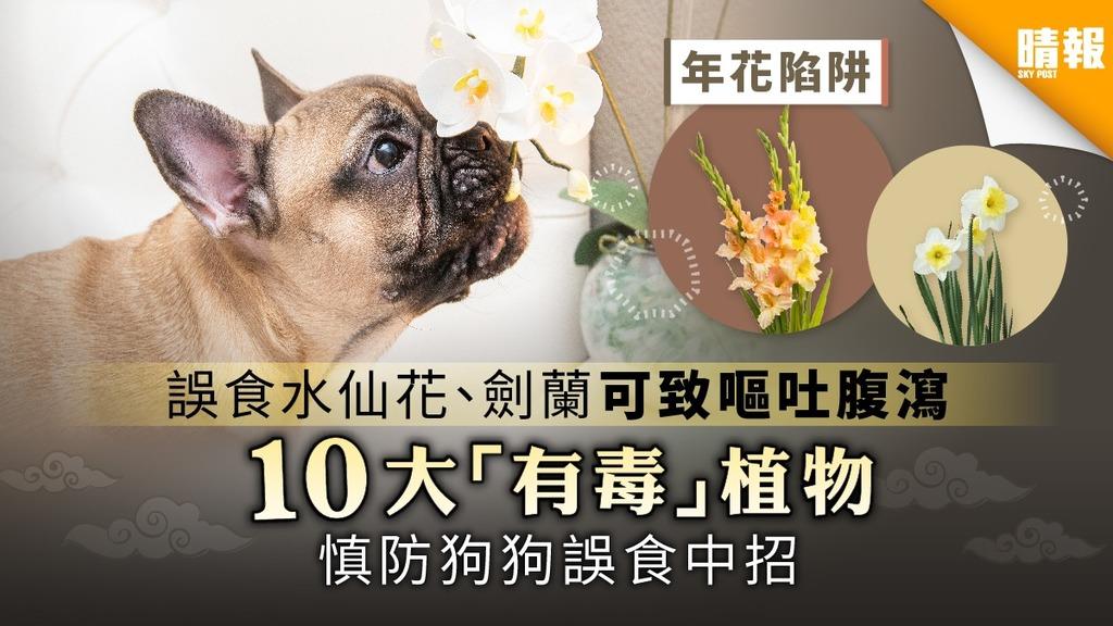 【年花陷阱】誤食水仙花、劍蘭可致嘔吐腹瀉 10大「有毒」植物慎防狗狗誤食中招