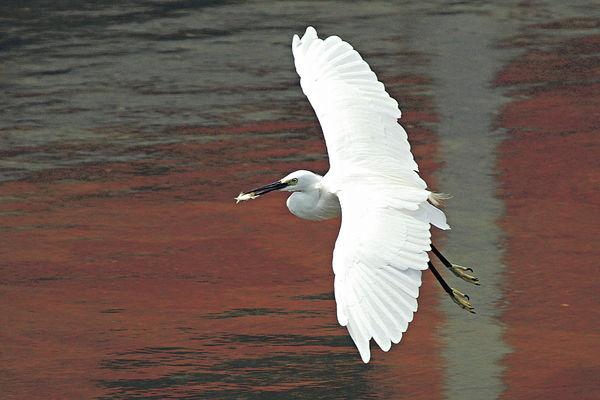 環團GPS尋鳥蹤 了解白鷺移動習性