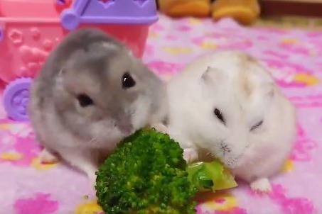 【倉鼠食物】日本主人為倉鼠打造多個食堂 兩隻倉鼠為卻搶食大打出手!