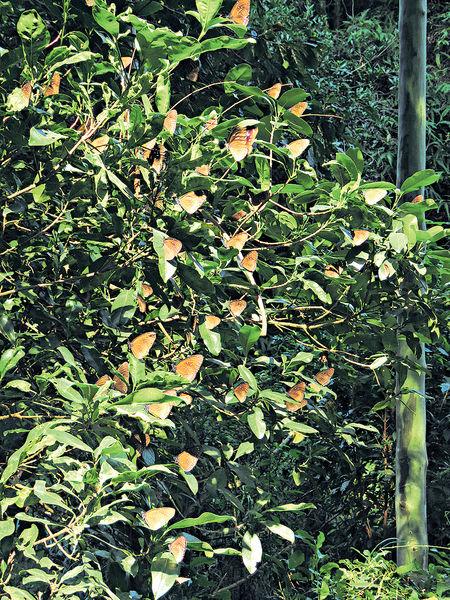 4區錄逾1400越冬斑蝶 深水灣數量升22倍