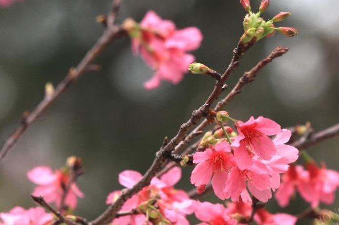 【花季2020】附美食推介!新界3個賞花好去處 鐘花櫻桃/藍花楹/繡球花/宮粉羊蹄甲