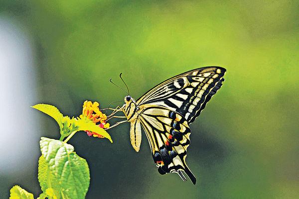 全港錄127種蝴蝶 總共逾7800隻