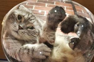 【台北貓Cafe】台北「FunLife-Gelato」貓咖啡店 多隻貓店員躲在精靈球坐鎮?