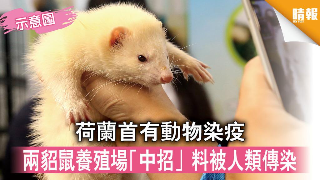 【新冠肺炎】荷蘭首有動物染疫 兩貂鼠養殖場「中招」料被人類傳染
