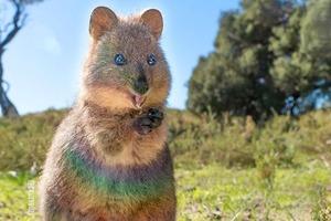 【微笑袋鼠 澳洲】「世界上最快樂動物」澳洲短尾矮袋鼠 萌爆微笑食野模樣超治癒~
