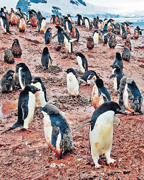全身泥濘恐失溫亡 南極暖化驚現「血」企鵝
