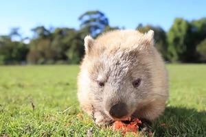 可愛澳洲袋熊曬住太陽歎早餐 滿足甜笑食蕃薯~