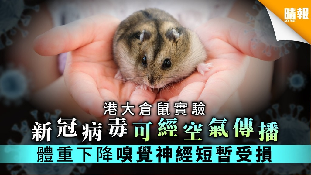 【關你鼻事】港大倉鼠實驗證實 新冠病毒短暫損嗅覺神經元