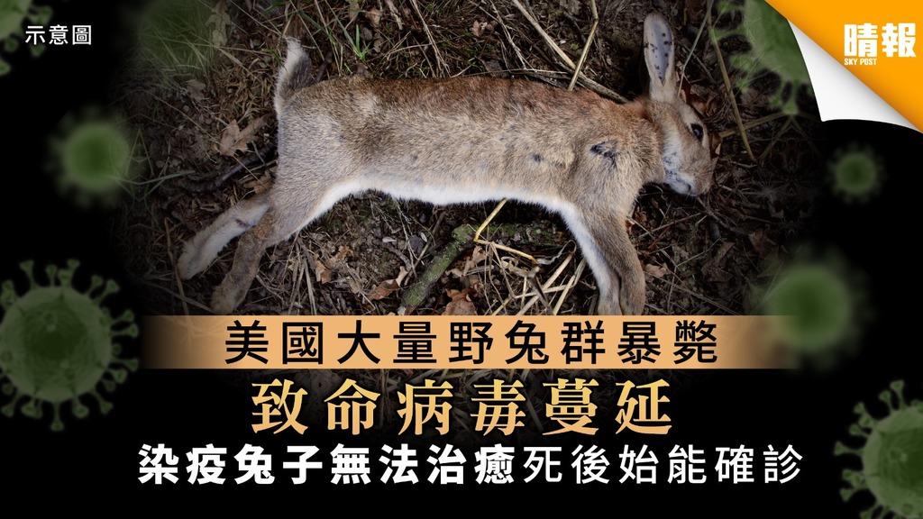 【再現危機】美國大量野兔暴斃揭致命病毒蔓延 染疫兔子無法治癒死後始能確診