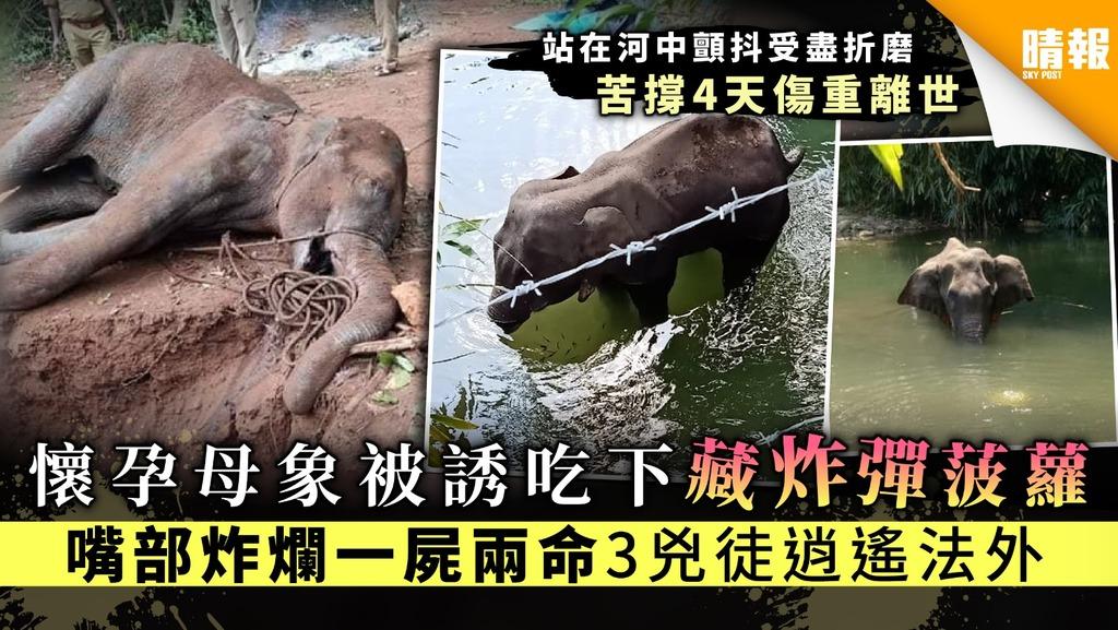 【令人髮指】懷孕母象被誘吃下藏炸彈菠蘿 嘴部炸爛一屍兩命3兇徒逍遙法外