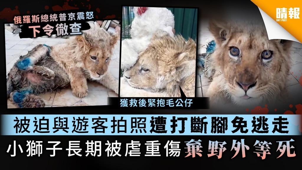 【人間煉獄】被迫與遊客拍照遭打斷腳免逃走 小獅子長期被虐重傷棄野外等死