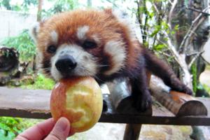 日本動物園可愛為食小熊貓 開心食蘋果表情古靈精怪~