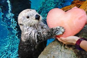可愛海獺受寵若驚收下愛心冰塊 天然呆表情洗臉/敲貝殼食蚌超萌!