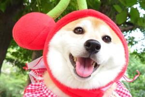 日本可愛柴犬狗治癒你心!  精靈柴柴有野食耳仔即豎起/躺在杯麵床賣萌~