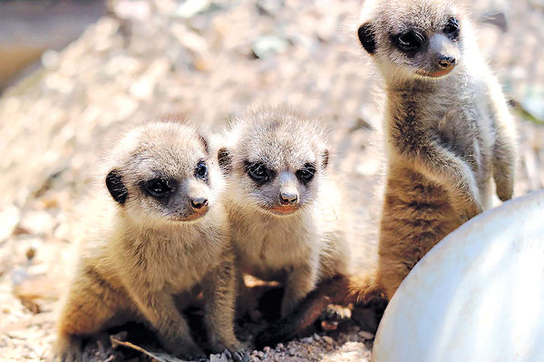 Cute爆海洋公園狐獴三胞胎 成長片段網上分享