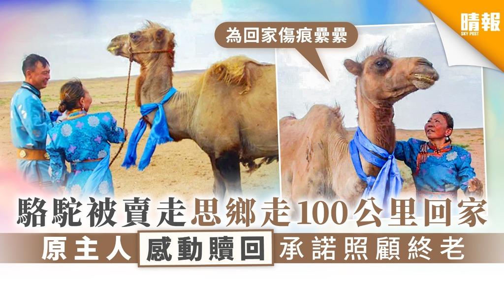 【靈性動物】駱駝被賣走思鄉走100公里回家 原主人感動贖回承諾照顧終老