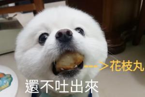 【白色松鼠狗】小白松鼠狗被發現偷吃花枝丸 跟主人僵持過程超可愛!