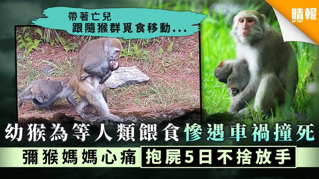 【喪子之痛】幼猴為等人類餵食慘遇車禍撞死 彌猴媽媽心痛抱屍5日不捨放手