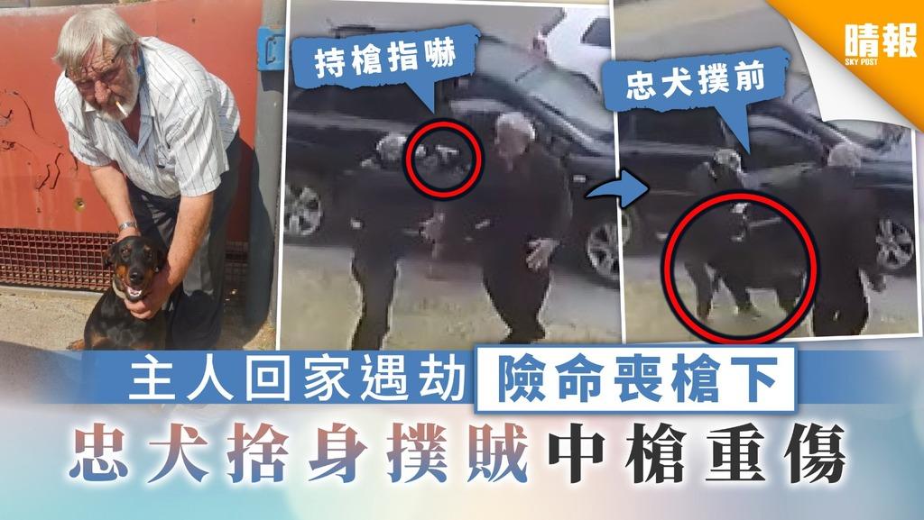 【忠心耿耿】主人回家遇劫險命喪槍下 忠犬捨身撲賊中槍重傷
