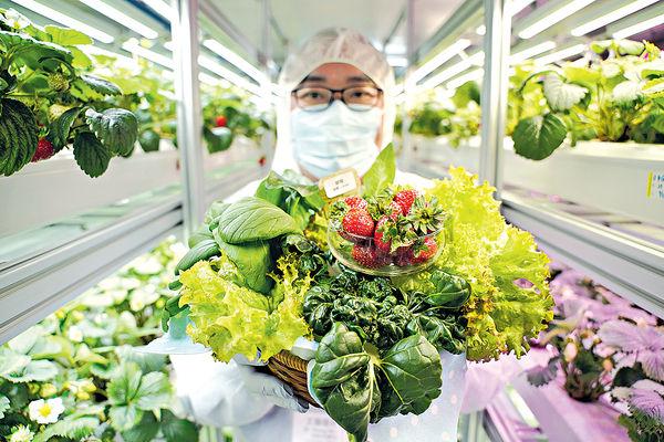 冬菜夏種 水耕5蔬果 全年有得食