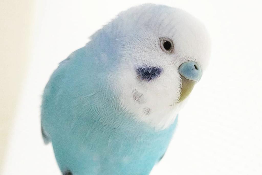 【虎皮鸚鵡】日本夢幻糖果粉藍色小鸚鵡軟萌又可愛 Tiffany Blue羽毛顏色激似波子汽水雪糕!