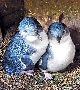 網上直播 3,000隻可愛企鵝歸巢