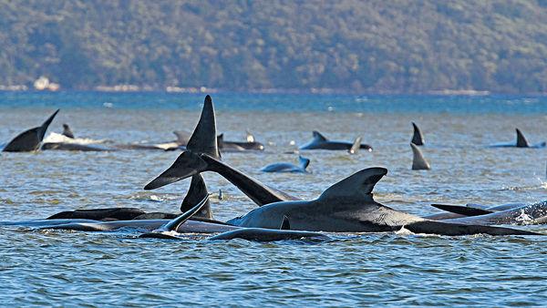 澳洲270條鯨魚擱淺 至少90失救亡
