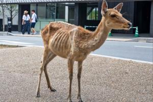 【奈良鹿公園】疫情下日本奈良鹿疑患上鹿餅成癮症 唔願食其他食物捱餓到皮包骨暴瘦