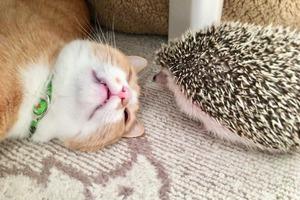 日本主人為小寵物拍下可愛生活照 貓貓與刺蝟互動超治癒!