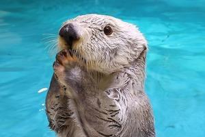 日本水族館拍下海洋動物生活片段 超可愛海獺最愛將食物收進百寶袋!