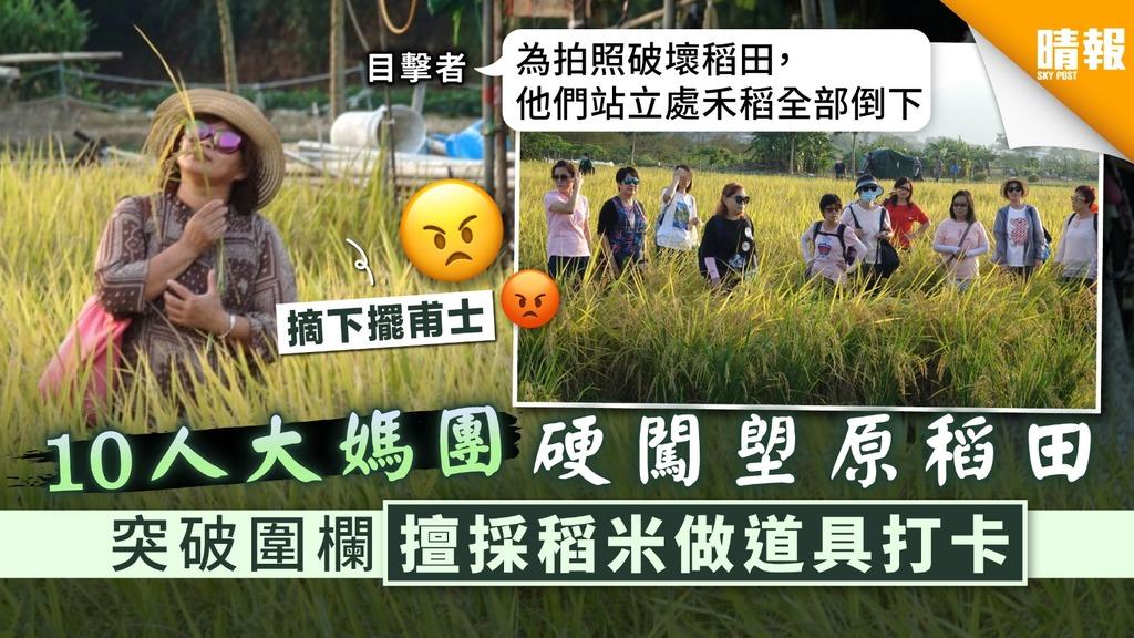 【缺德遊客】10人大媽團硬闖塱原稻田 突破圍欄擅採稻米做道具打卡