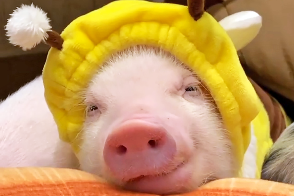 【東京好去處|東京景點2021】日本東京剌蝟迷你豬Cafe「小動物園 HARRY PIGGY」 親親嗲人小豬+可愛小剌蝟!