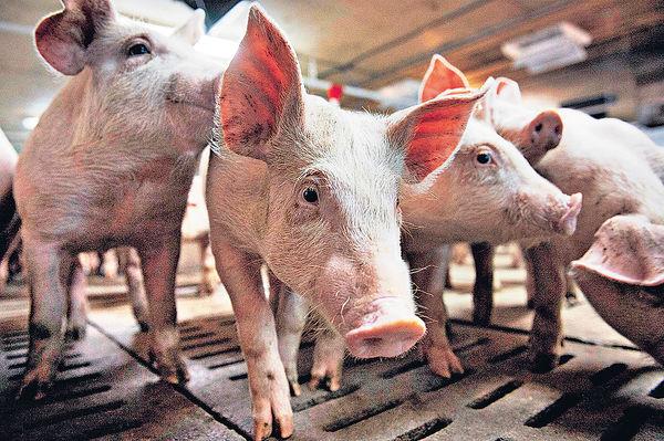 加國首現人類感染 H1N2豬流感 全球15年間僅27宗