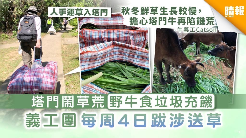 【生態危機】塔門鬧草荒野牛食垃圾充饑 義工團每周4日跋涉送草解困