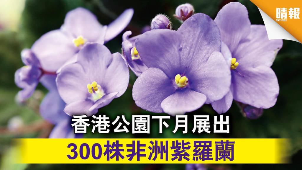 【專題展覽】香港公園下月展出 300株非洲紫羅蘭(內附多圖)