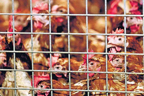 比法兩國爆禽流感 港停禽類產品進口