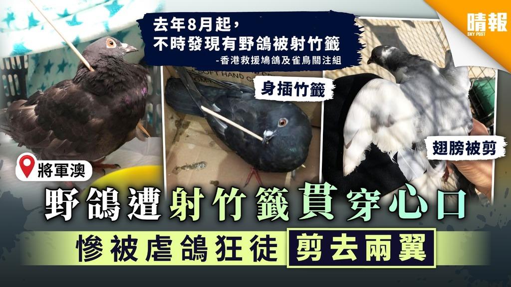 救救動物︳將軍澳野鴿遭射竹籤貫穿心口 慘被虐鴿狂徒剪去兩翼