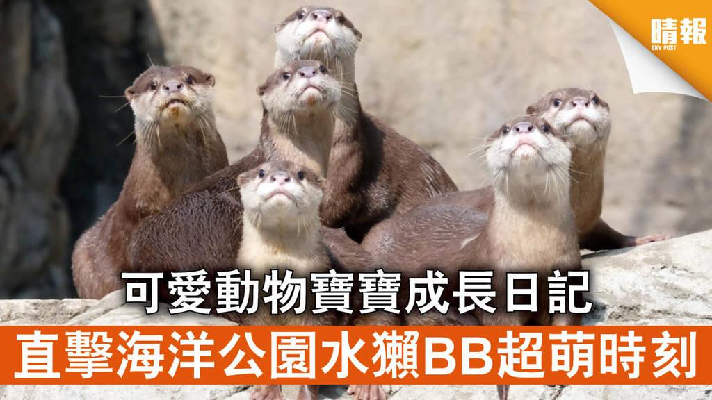 海洋公園│可愛動物寶寶成長日記 直擊水獺BB超萌時刻